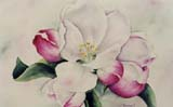 Apple Blossom watercolor